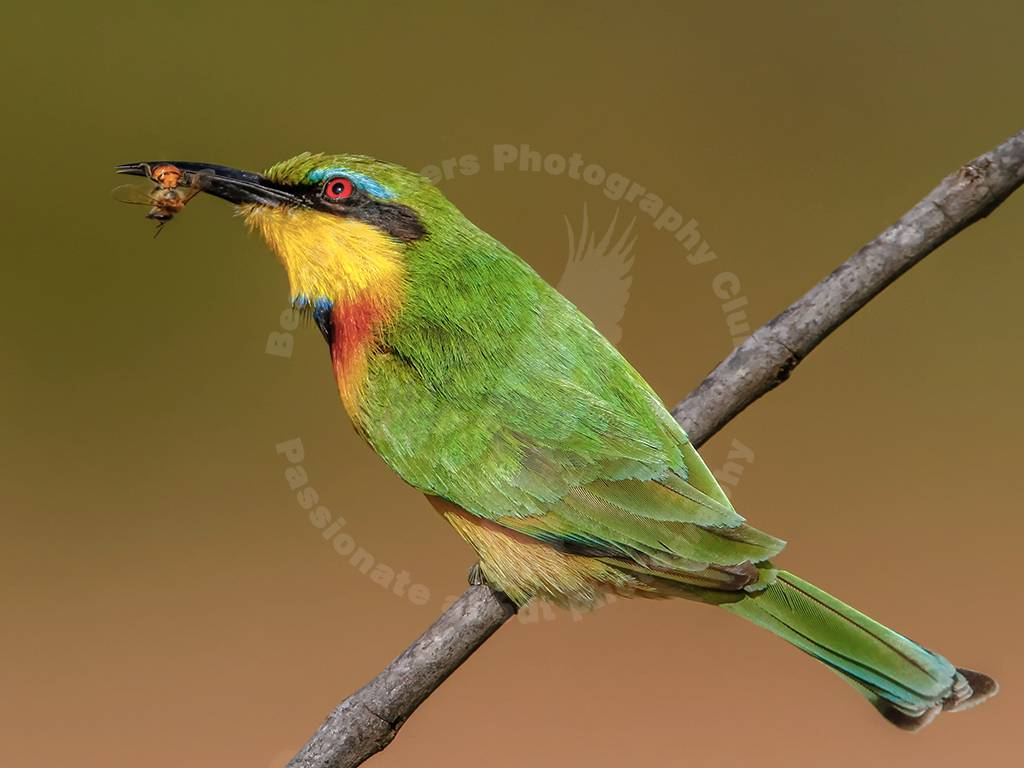Winner Theme 1 (WILDLIFE) - Nobby Clarke - Caught by a bee-eater